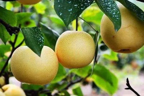 高血压不宜吃6种水果-梨